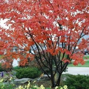 Serviceberry Fall Color